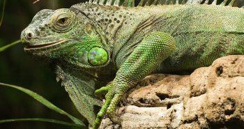 Iguanas in Miami